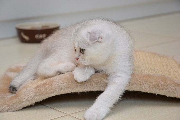Female scottish fold. Scottish fold cattery Snow Owl.