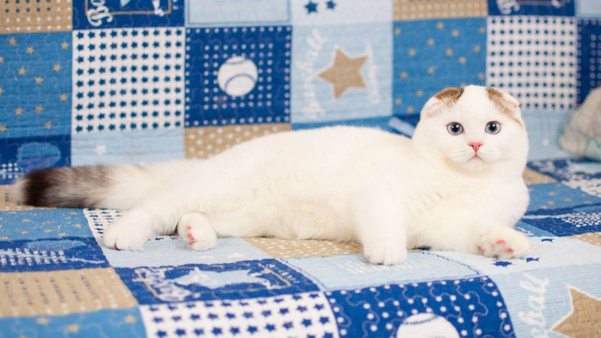 Scottish fold male, black ticket tabby van blue eyes