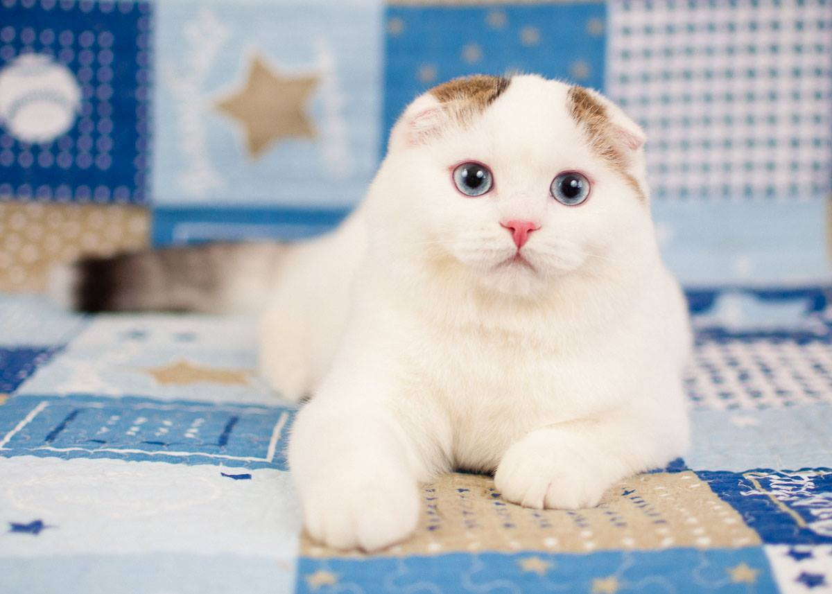 Scottish fold male SFS n 25 01 61