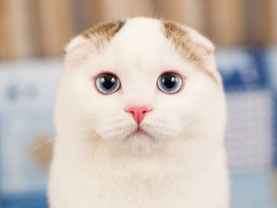 Scottish fold male, black ticket tabby van with blue eyes