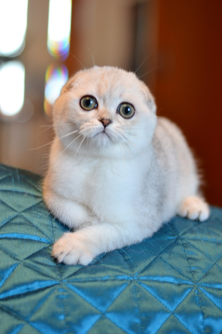 Scottish fold male