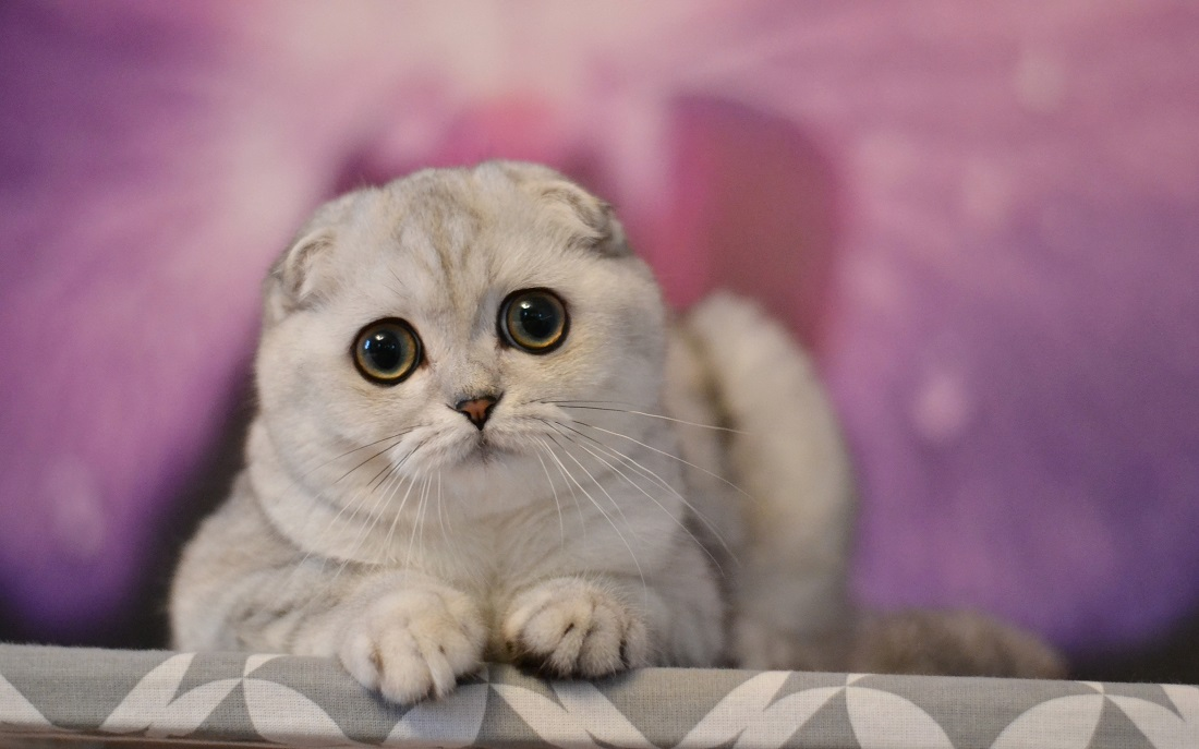 Silver shaded scottish fold male