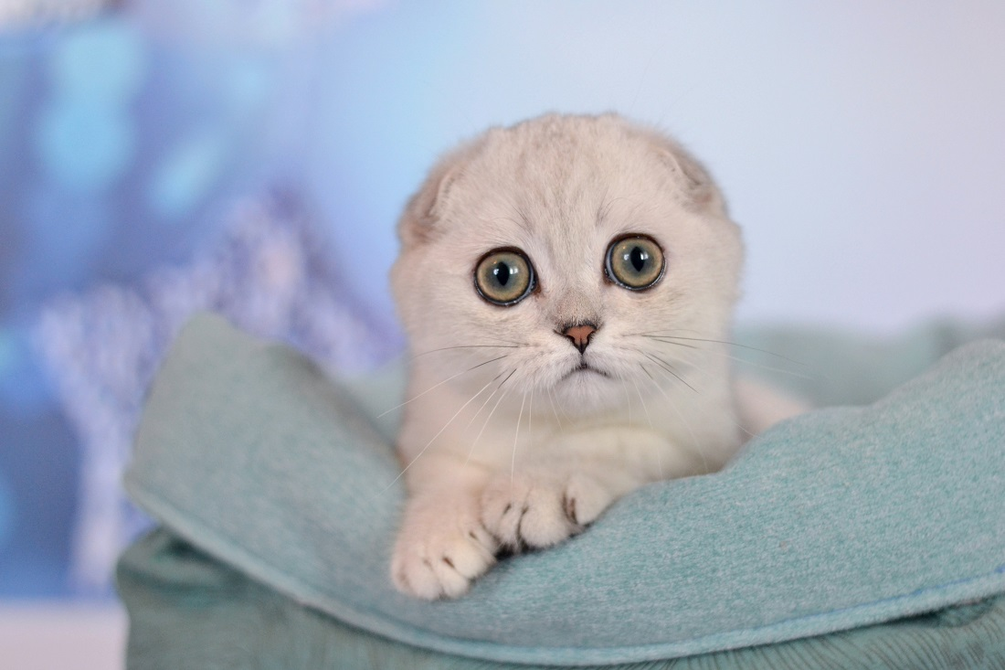 Scottish fold male, black silver shaded