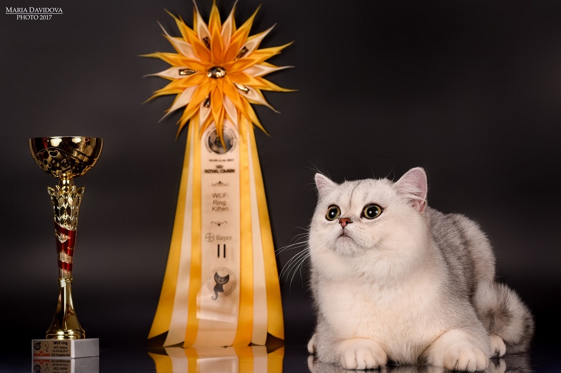 Cat Show Odessa 3-4 june. Snow Owl cattery!
